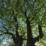Kastanienbäume