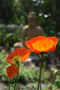 Mohnblüten mit Buddha im HG