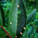 Spinnennetz im Blatt
