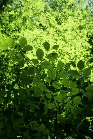 grüne Blätter 1